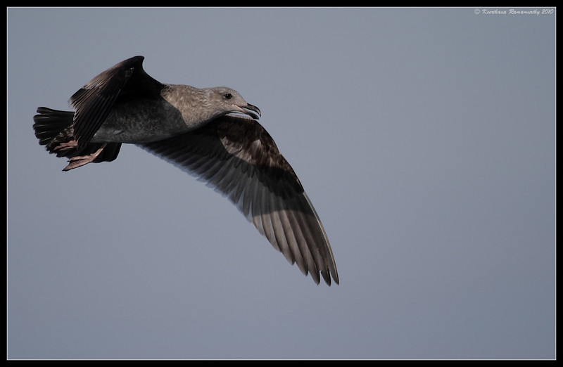 1st Winter Western Gull, Oceanside Pelagic Trip, San Diego County, California, January 2010