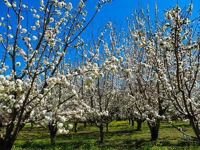 Cherry blossom at an orchard in Saratoga