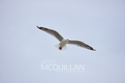 Red bill seagull