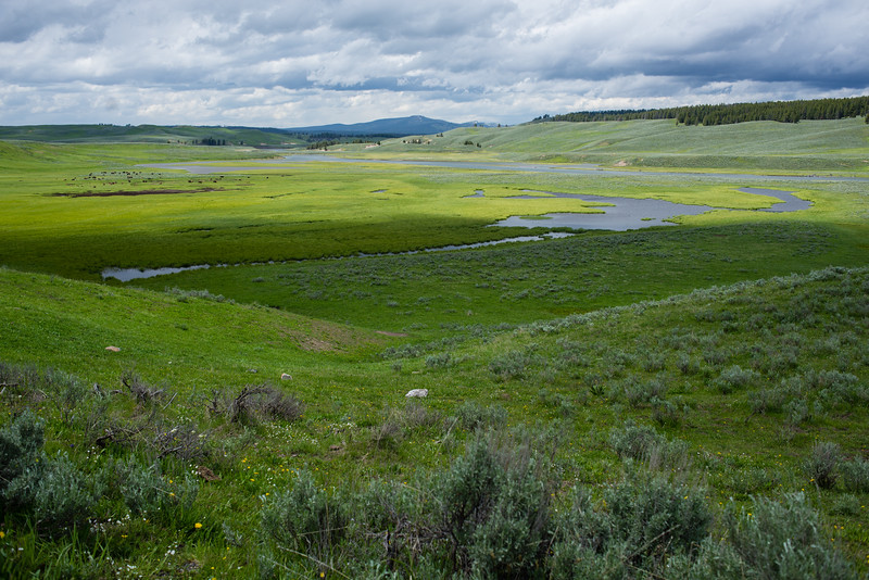 Bison in the Yellowstone River valley