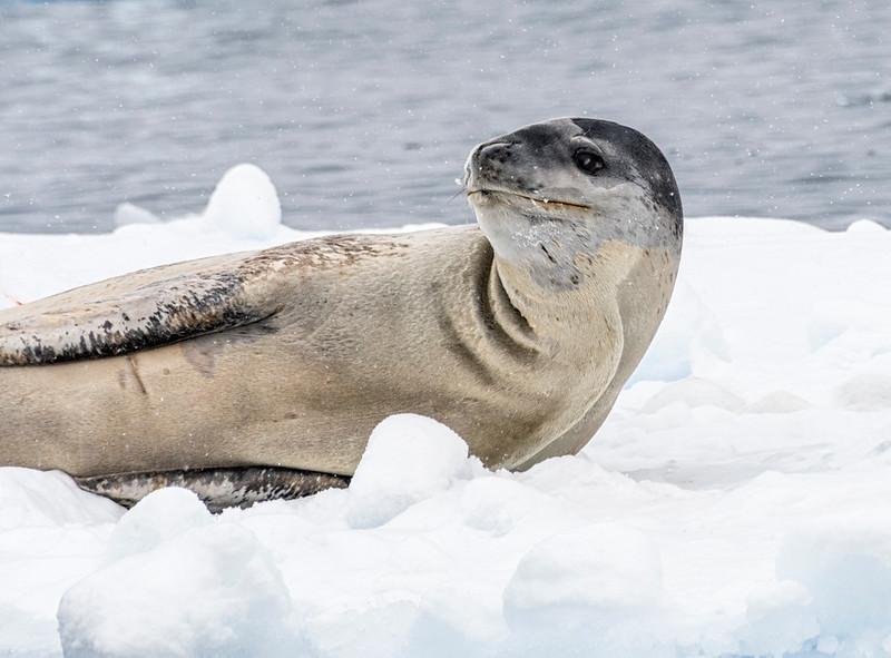 Seals_Leopard_Cierva Cove_Antarctic Peninsula-2.jpg