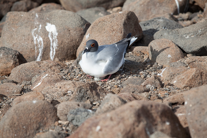 A swallow-tailed gull sitting on its egg - not too happy to see us.