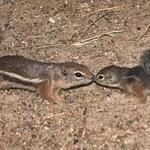 Harris' Antelope Squirrel Pups - 2008
