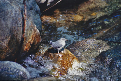 BIRDS: Dippers (Cinclidae)
