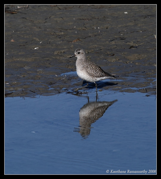 Black-Bellied Plover, Robb Field, San Diego County, California, December 2008