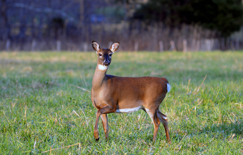 Whitetail Doe.jpg