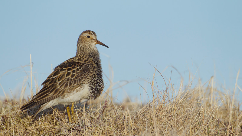 Pectoral Sandpiper, aptly named for the plumage on his breast, which is used in dramatic courtship displays