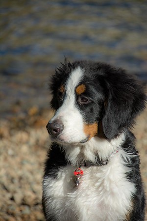2017 Bernese Mountain Dogs of the West Calendar