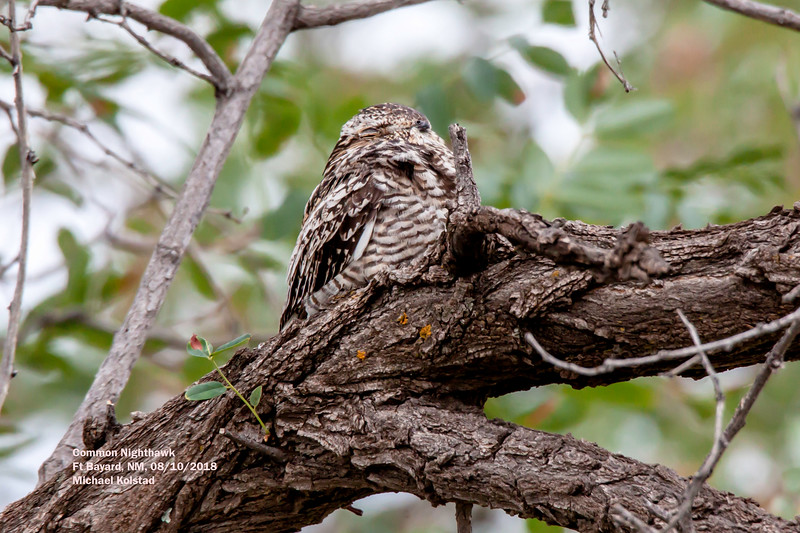 IMG_7436 3T crp Common Nighthawk Ft Bayard, NM.jpg
