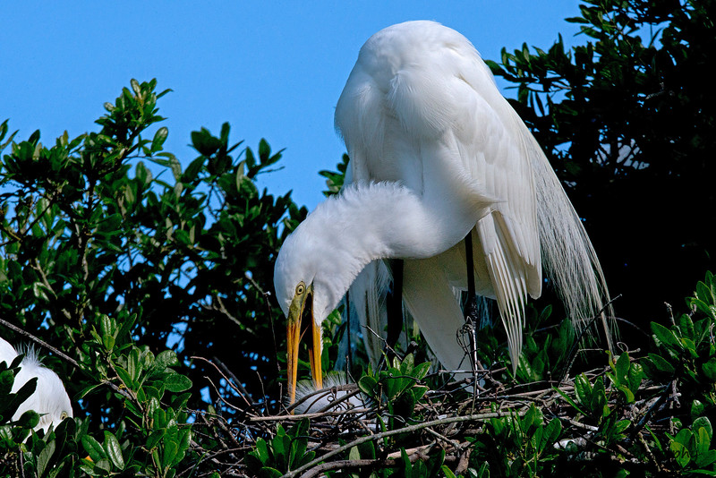 Great White Egret feeding chick