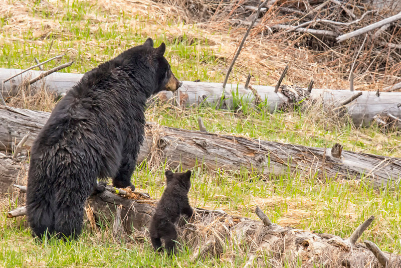Yellowstone_May_2014_FH0T5957.jpg