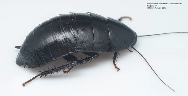 Platyzosteria avocaensis Tepper, 1893
