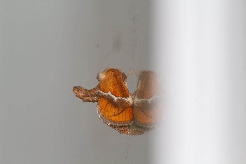 Lithacodes fasciola Yellow-shouldered Slug Moth 4665 Family Limacodidae Skogstjarna Carlton County MN  IMG_0056.jpg