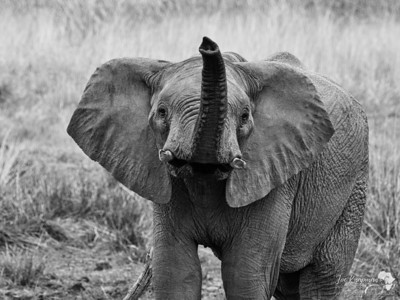 Monochrome Elephant Portrait