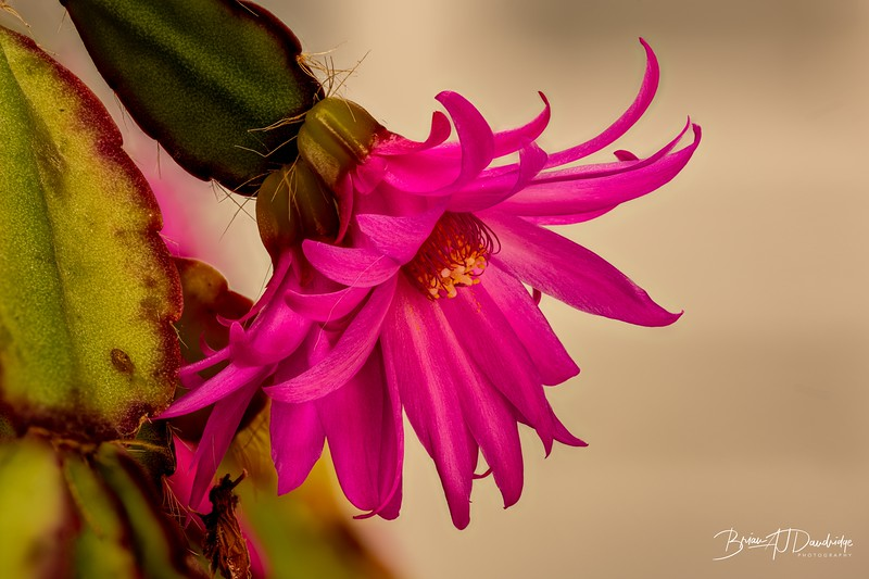Easter Cactus profile view 2020-05-23 11-10-26 (C,Smoothing4)-1.jpg