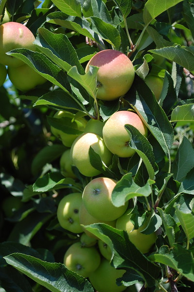 U-Pick Apples at Abbott Farms