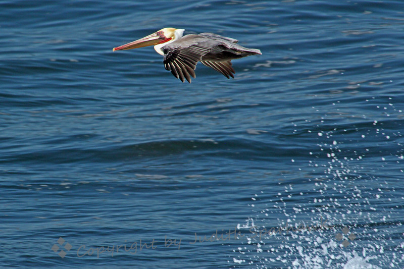 Brown Pelican ~ I stood on the cliffs over La Jolla Cove, during a high tide, with the spray from large waves hitting the rocks below.  I practiced my in-flight photography (the birds in flight, not me!)  This Brown Pelican was flying by, already showing some breeding colors on his head and neck.