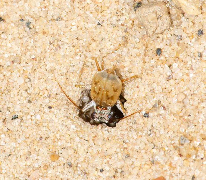 Ellipsoptera lepida Ghost Tiger Beetle Sauk Prairie Recreation Area WI IMG_0260.jpg