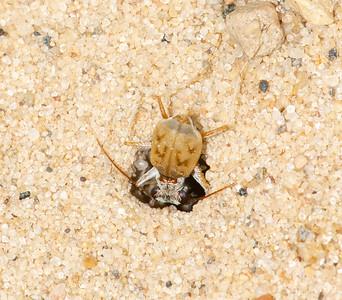Elipsoptera lepida (Ghost Tiger Beetle)