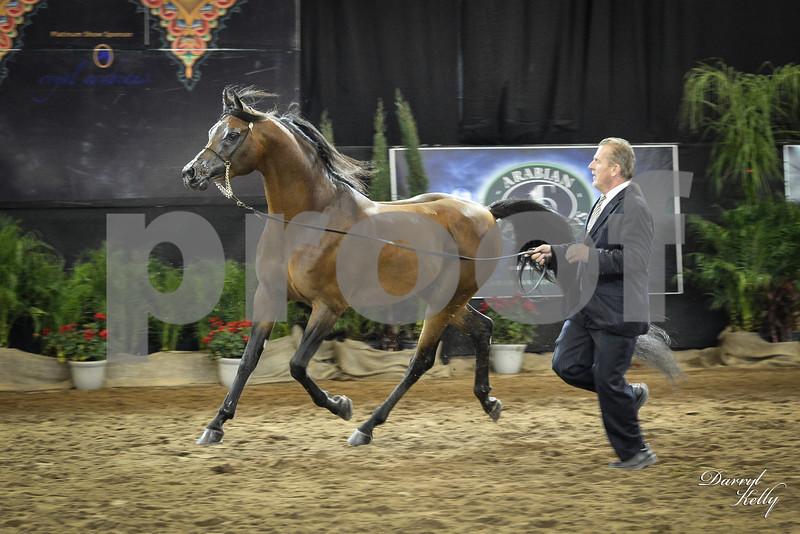 Class 22 -10& over Stallion