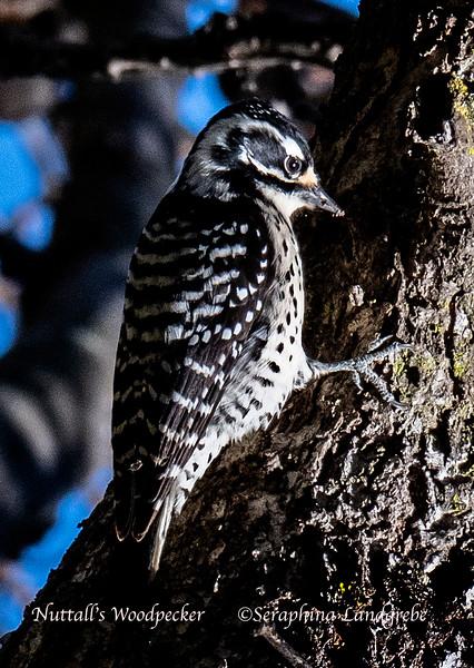 _DSC5494Nuttall's Woodpecker.jpg