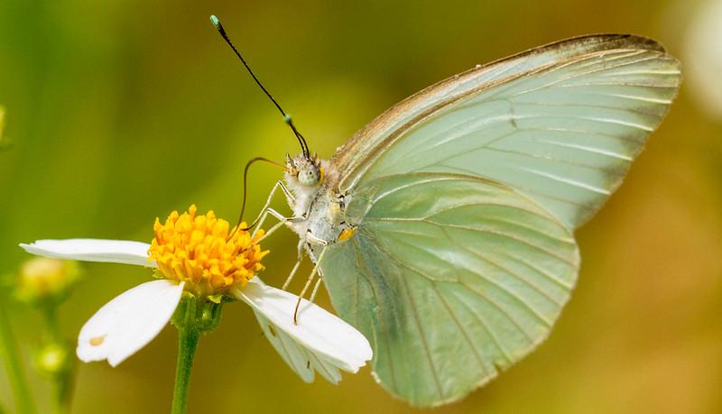 Whites (Pierinae)