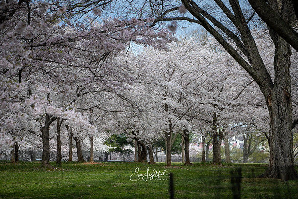 2019 Cherry Blossoms