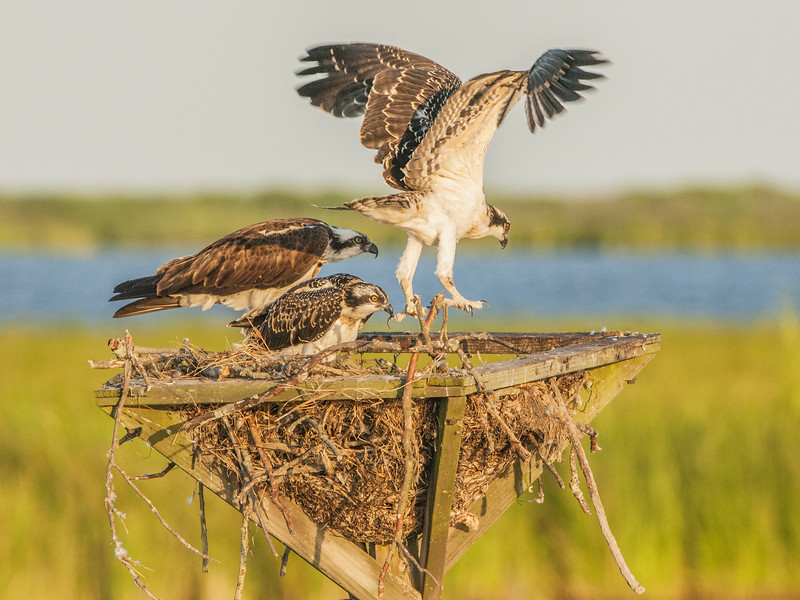 Osprey Chick Lift Off.jpg
