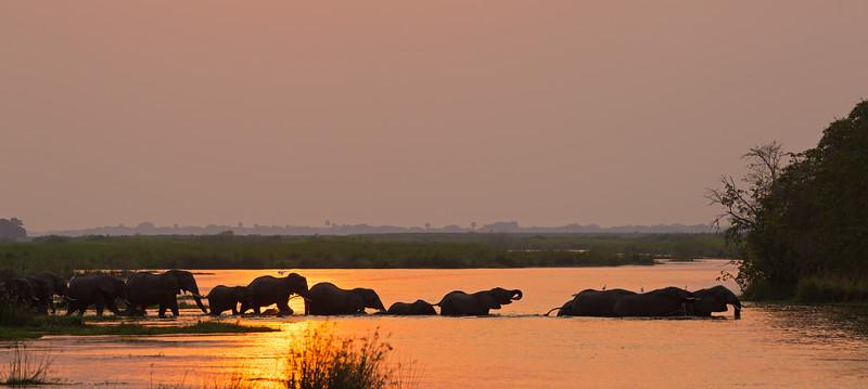 iconic elephant parade crossing Nile swamp at sunset.jpg