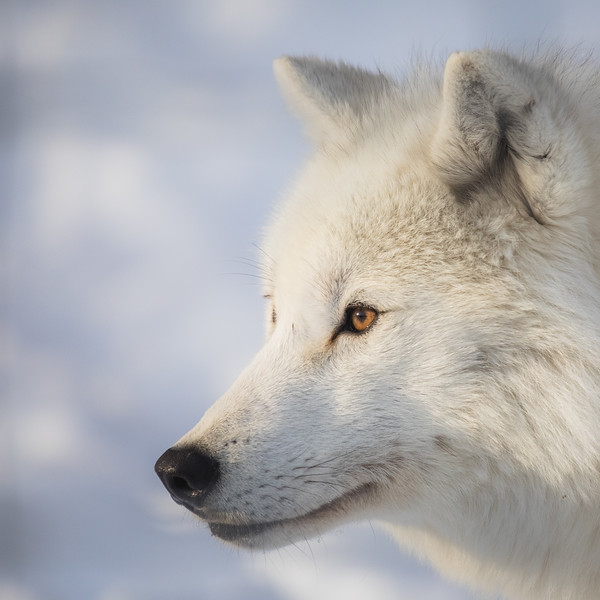Arctic Wolf Omega.jpg