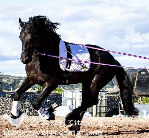 Black Friesian Horses on lunge 2014