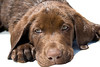 Close up portrait of cute chocolate lab puppy. Photography fine art photo prints print photos photograph photographs image images artwork.