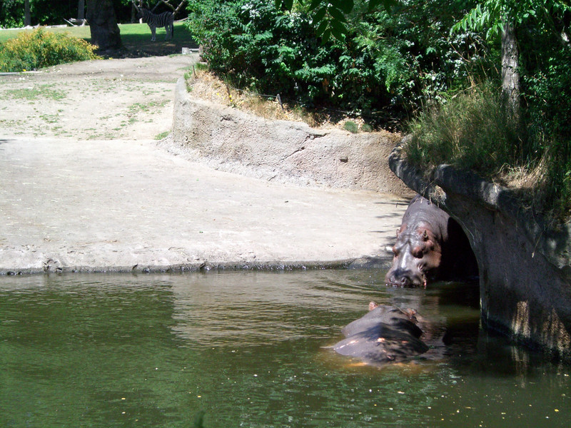One hippo joining the other in the water.