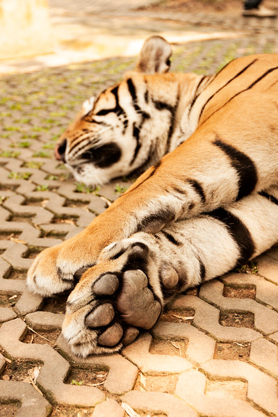 "I mentioned to one of the handlers in the 'medium' cage that I was scared of the 'big' tigers. He was like, ""more big, more lazy!""