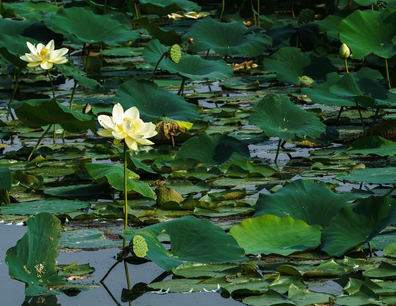 American Lotus in the lagoon at North Bay Park