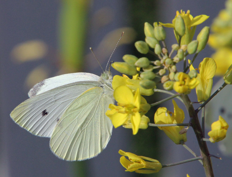 Cabbage white 3