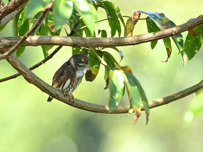 Amazonian Pygmy-Owl (Glaucidium lineata)