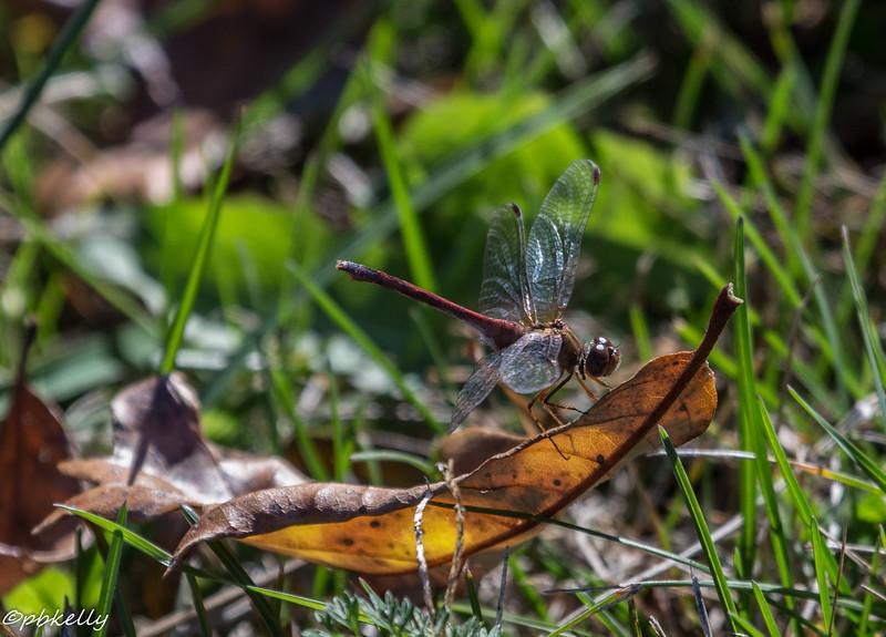 autumn mhawk 102015-1.jpg