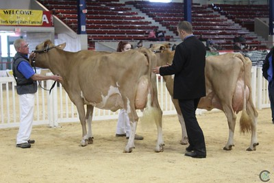 NY Spring Guernsey Cow Show 2017