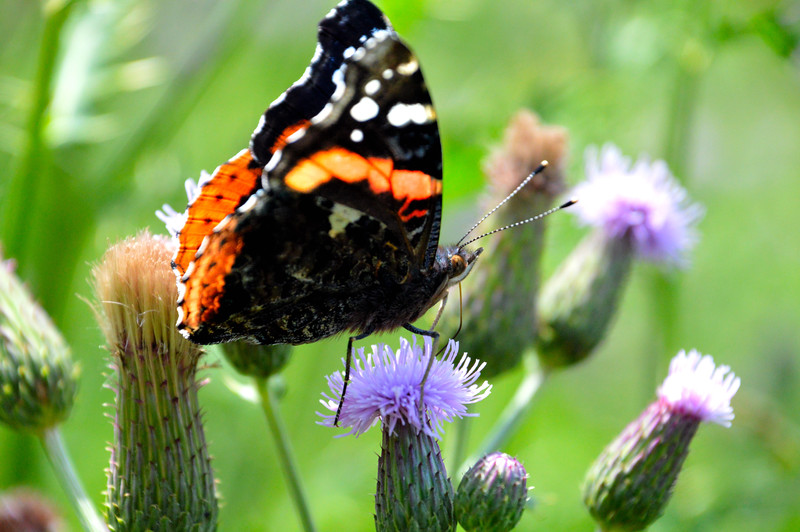 Thistle-butterfly.jpg