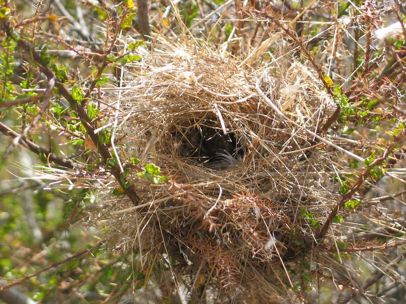 Zebra Finch -  Nest.jpg
