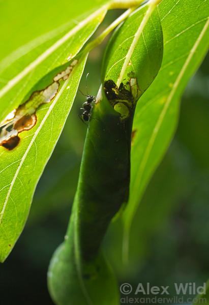 Polyrhachis robsoni