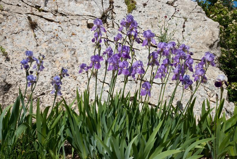 Irises against a wall, Brantes