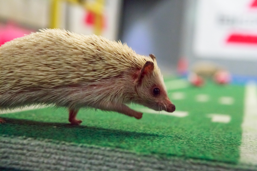 Description of . Hedgehogs on the field with pompoms(Photo credit: Animal Planet)