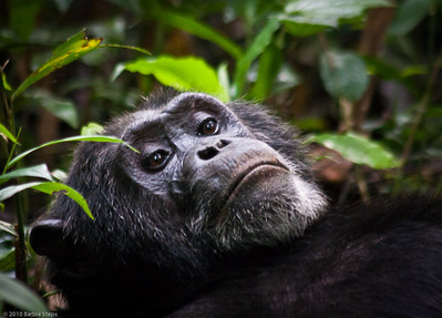 Kibale Forest Trek - Chimpanzees