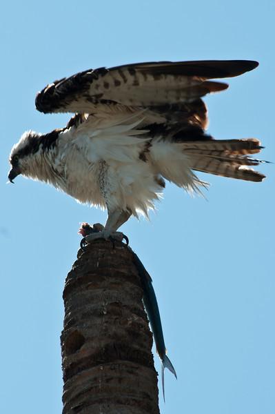 Osprey with Ladyfish.