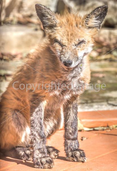 Red Fox in the Backyard