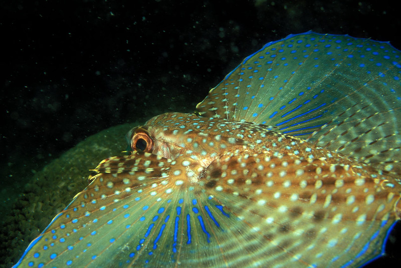 Flying Gurnard - Arraial do Cabo