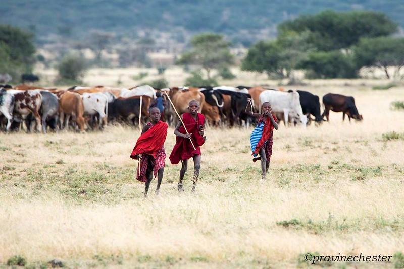 Masai Cowherds