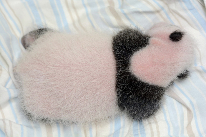. A cub born recently to giant panda Yuan Yuan rests  in an incubator at the Taipei Zoo in Taipei, July 29, 2013. Her fur does not yet cover her pink skin.   Taipei City Zoo/AFP/Getty Images